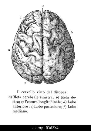Vintage illustration of anatomy, brain upper view with  anatomical descriptions in italian - Stock Photo