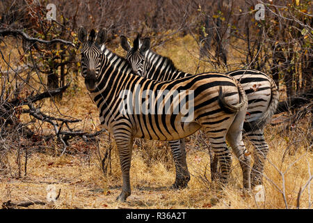 Beautiful striped Burchell's Zebras on the African plains - Stock Photo