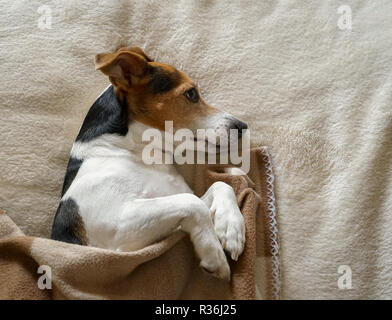 Adult dog Jack Russell lying on its side wrapped in the blanket, looking past the camera, natural light, top view - Stock Photo