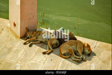 RAJASTHAN INDIA PUSHKAR THE LAKE AND THREE DOGS ASLEEP IN THE SHADE OF A PILLAR - Stock Photo