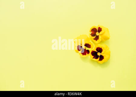 heartsease heads on yellow background.Pansies yellow flower.garden flowers.Yellow wild pansy flower.Abstract bouquet.Copy space - Stock Photo