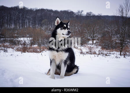 Alaskan malamute  in winter forest - Stock Photo