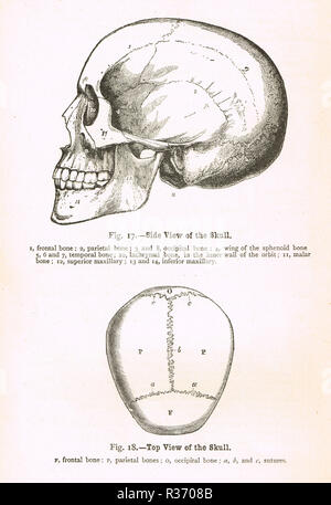 Side and top view of a human Skull. A 19th Century illustration - Stock Photo