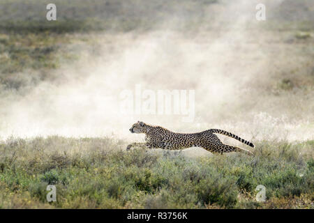 Cheetah (Acinonyx jubatus) hunting on on prey, full speed in dust cloud and backlight, Ngorongoro conservation area, Tanzania. - Stock Photo