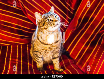 Golden brown striped pet tabby cat sitting on and surrounded by a red velvet striped cushion with gold and dark red striped. He is looking upwards and - Stock Photo