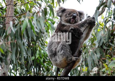 Koala bear mother with cute baby joey in eucalyptus tree, Kangaroo Island, South Australia, November 7, 2016 - Stock Photo