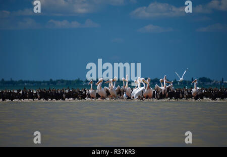 Pelicans and cormorants in the mouth of the Danube, where the river flows into the Black Sea against a blue sky with white clouds in Ukraine - Stock Photo
