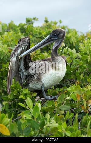 Brown Pelican (Pelicanus Occidentalis urinator) cleans his plumage, Santa Cruz Island, Galapagos Islands, Ecuador - Stock Photo