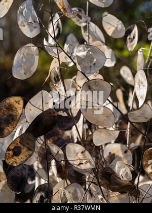 Seed pods of the annual honesty, Lunaria annua, provide autumn and winter decoration - Stock Photo