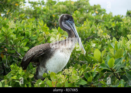Galápagos Brown Pelican (Pelicanus Occidentalis urinator) sitting in the tree, Santa Cruz Island, Galapagos Islands, Ecuador - Stock Photo