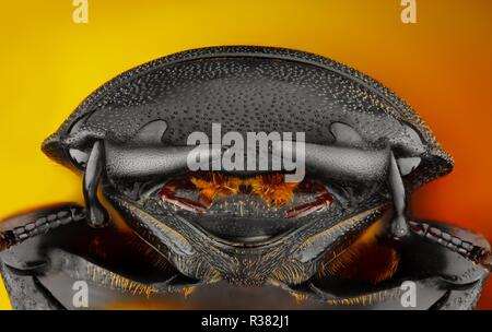 Extreme sharp and detailed photo of a stag beetle Dorcus parallelipipedus. The image is stacked from many shots into one sharp image. - Stock Photo