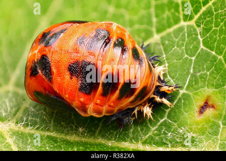 Extremely sharp and detailed study of a Harlequin ladybird pupa taken with a macro lens stacked from many images into one very sharp photo. - Stock Photo
