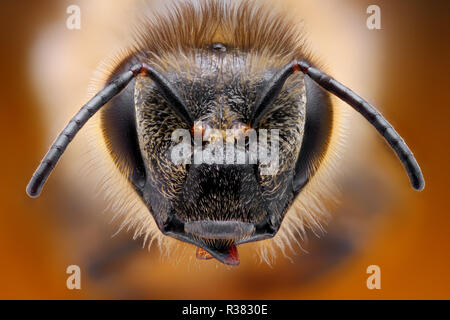 Extremely sharp and detailed study of a Bee head taken with a macro lens stacked from many images into one very sharp photo. - Stock Photo