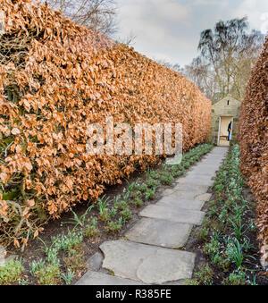 Green Beech hedges in winter at York Gate Garden, Adel, Leeds. - Stock Photo