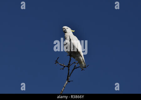 An Australian, Queensland Sulphur-crested Cockatoo ( Cacatua galerita ) perched high up on a tree - Stock Photo