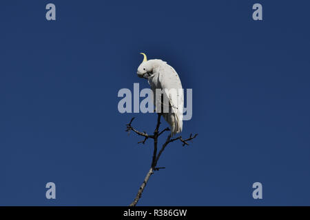 An Australian, Queensland Sulphur-crested Cockatoo ( Cacatua galerita ) perched high up on a tree preening itself - Stock Photo