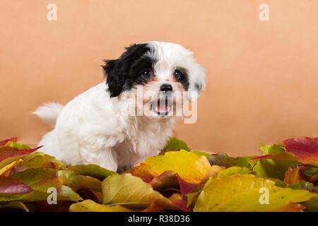 havanese puppy in the foliage studio - Stock Photo