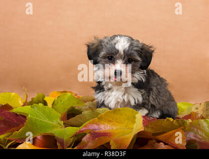 havanese puppy in foliage studio - Stock Photo