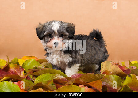 havanese puppy in leaves studio - Stock Photo