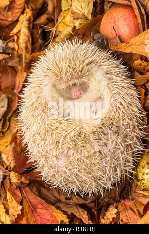 Hedgehog, wild, native, pure albino hedgehog, curled up into a ball for hibernation.  With pure white spines, pink nose, eyes and snout. Vertical - Stock Photo