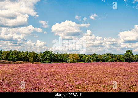 Heathland with flowering common heather Calluna vulgaris and an oak in the Lueneburg Heath Lueneburger Heide in Lower Saxony, Germany. HDR - Stock Photo