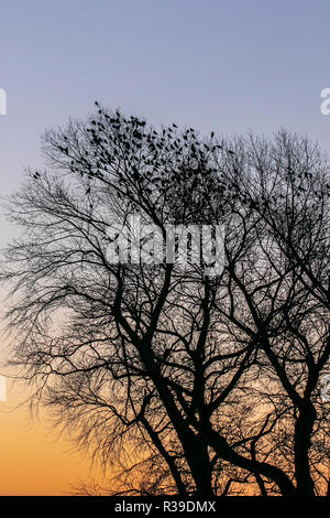 UK weather: Rufford, Lancashire. 22nd Nov, 2018. Clear skies after cold overnight frost as crows seek the high branches to catch the rays of the rising sun. Credit: MediaWorldImages/AlamyLiveNews. - Stock Photo