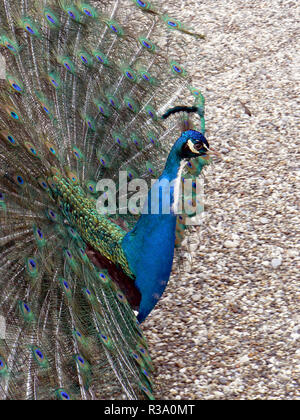 balzender indian peafowl (pavo cristatus) - Stock Photo