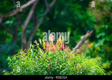 Selective Focus: Beautiful pink and green leaves on blur forest greenery background on a sunny day. Photograph taken from Yumthang Valley or Sikkim Va - Stock Photo