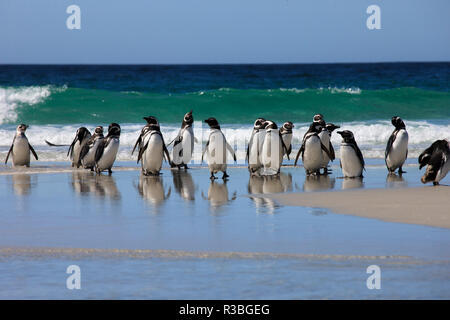 Magellanic Penguins. West Point Island. Falkland Islands. - Stock Photo