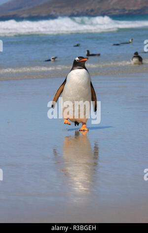 Gentoo Penguin. West Point Island. Falkland Islands. - Stock Photo