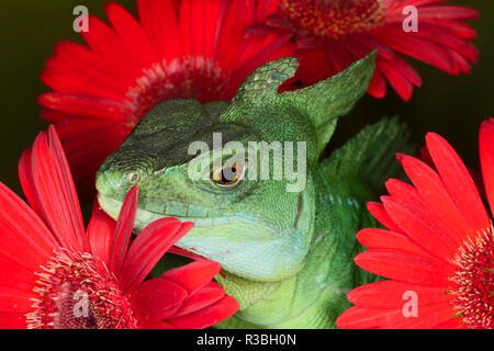 Plumed basilisk lizard, Basiliscus plumifrons, also known as Jesus Christ lizard. - Stock Photo