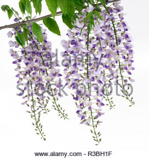 Violet flowers of wisterias on white backgrounds. - Stock Photo