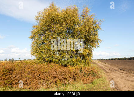Silver birch, Betula pendula, heath vegetation in Suffolk Sandlings heathland, Sutton, Suffolk, England, UK - Stock Photo