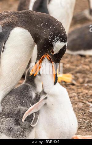 Falkland Islands, Sea Lion Island. Gentoo parent feeding chick. - Stock Photo