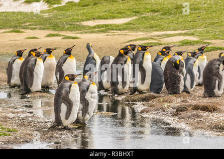 Falkland Islands, East Falkland. Group of king penguins. - Stock Photo