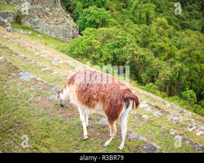 A llama eating grass in the Machu Picchu citadel - Stock Photo