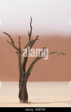 Ancient dead camelthorn acacia trees in the dry lakebed of Deadvlei, Namib-Naukluft National Park, Namibia.
