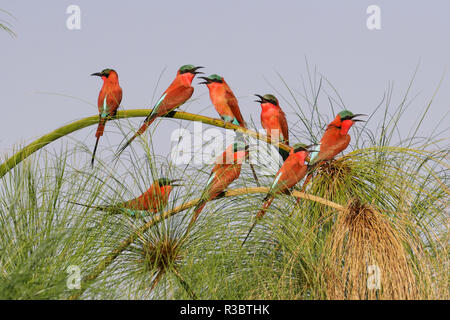 Southern Carmine Bee-eaters (merops nubicoides), perched on a tree above the Cubango River, Bwabwata, Namibia, Africa. - Stock Photo