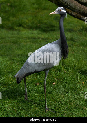 The Demoiselle Crane (Anthropoides virgo) is the smallest of the cranes and is now only found as a vagrant to parts of southern Europe. - Stock Photo