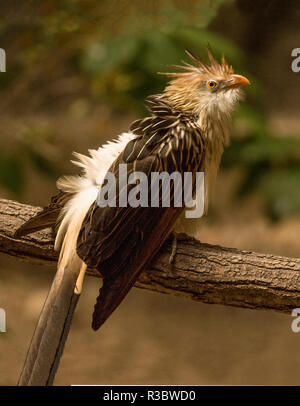The Guira Cuckoo (Guira guira) is a native of South America.This bird was  photographed in captivity - Stock Photo