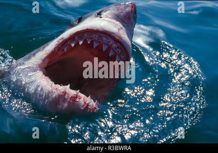 Great White Shark, near Gansbaii, South Africa - Stock Photo