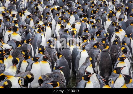 King penguin rookery at Salisbury Plain. South Georgia Islands. - Stock Photo