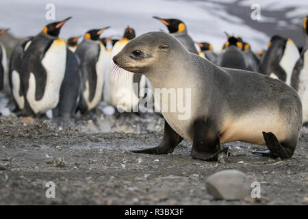 Seal pup with king penguins on beach of St. Andrews Bay, South Georgia Islands. - Stock Photo