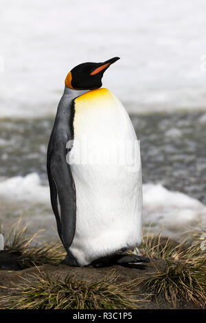 A king penguin rests on a small mound on Salisbury Plain on South Georgia in Antarctica - Stock Photo