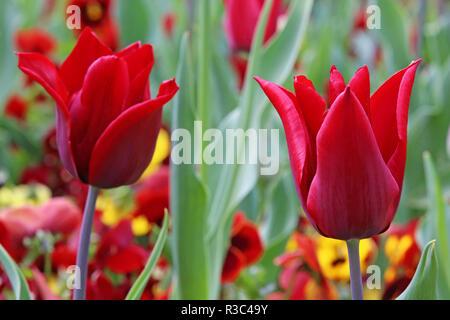 red tulip queen of sheba - Stock Photo