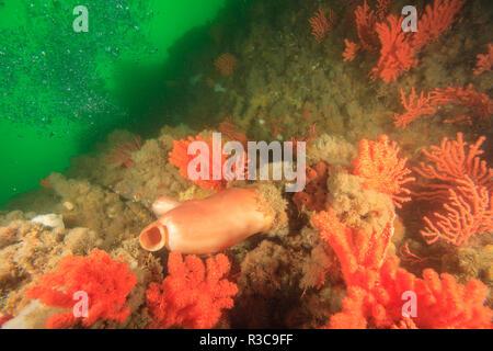 Rich carpet of invertebrate sea life at Inian Island, sea star, hydroids, soft corals, and sponges near Elfin Cove, Baranof Island, Alaska, USA - Stock Photo