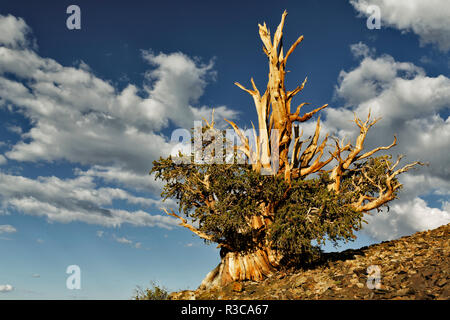 Ancient bristlecone pine trees, White Mountains, California. Minus longaeva, Great Basin National Park - Stock Photo