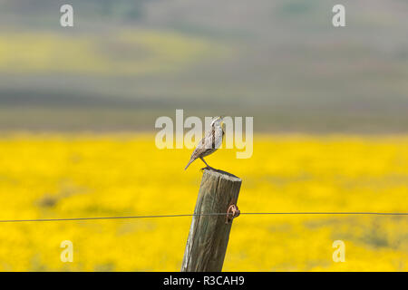 California. A Western Meadowlark, Sturnella neglecta, sings his song atop a fencepost in the Carrizon Plains. - Stock Photo