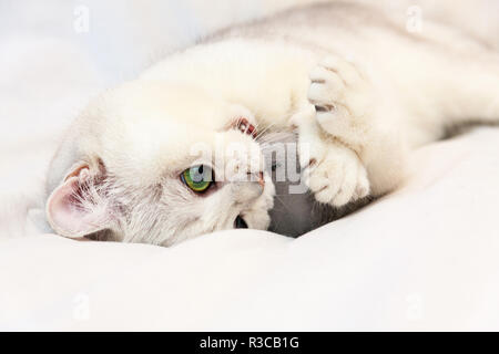 A cute white cat playing with a toy, a playful British cat with adorable green eyes lies on a white blanket clutching the toy mouse's paws and biting  - Stock Photo