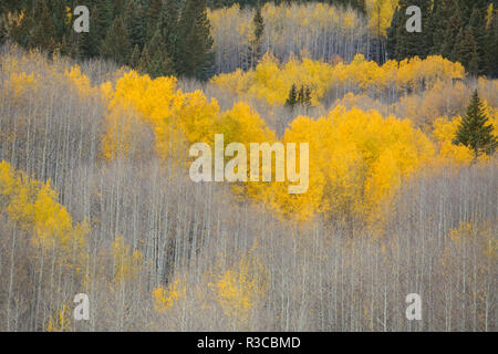 USA, Colorado, Gunnison National Forest. Aspens in fall color. - Stock Photo